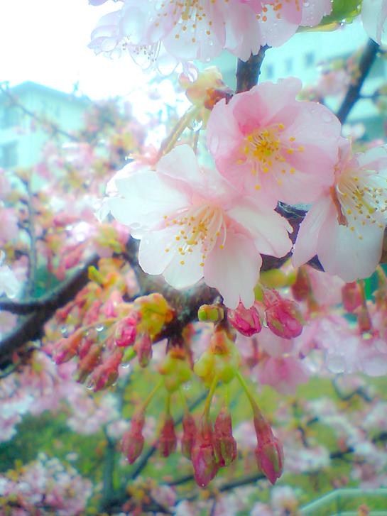 かわず桜.jpg