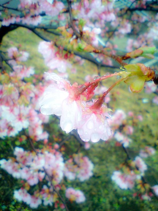 かわず桜3.jpg