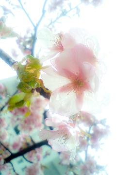 かわず桜4.jpg