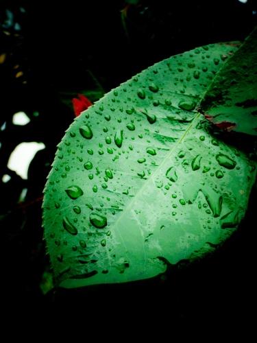 雨の葉っぱ7